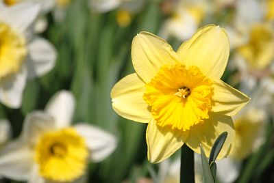 Dedicate a Daffodil for Valentine's Day